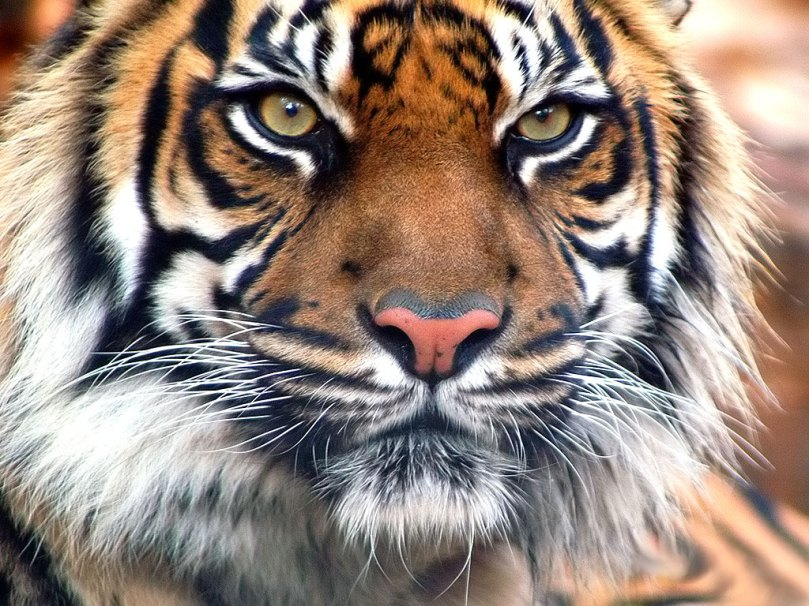 indian-tiger-closeup