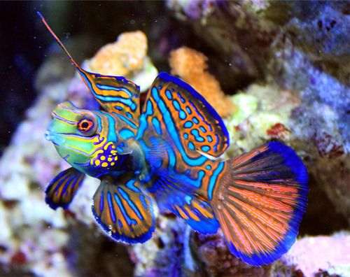 Mandarin goby fish (be sure to double check)