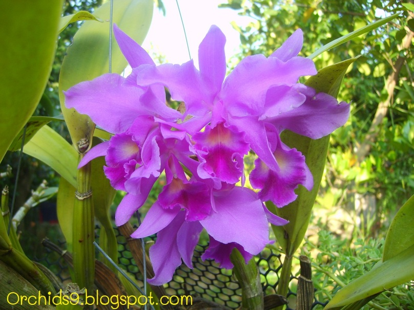 Pink Cattleya Orchid Flower Picture 91