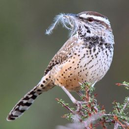 cactus wren with beak full