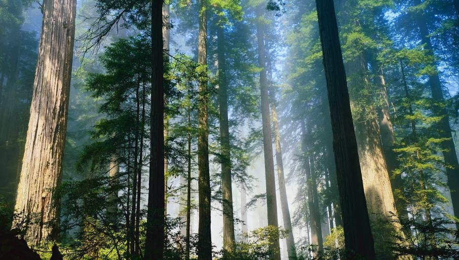 redwood-forest- (2016_07_21 01_37_36 UTC)